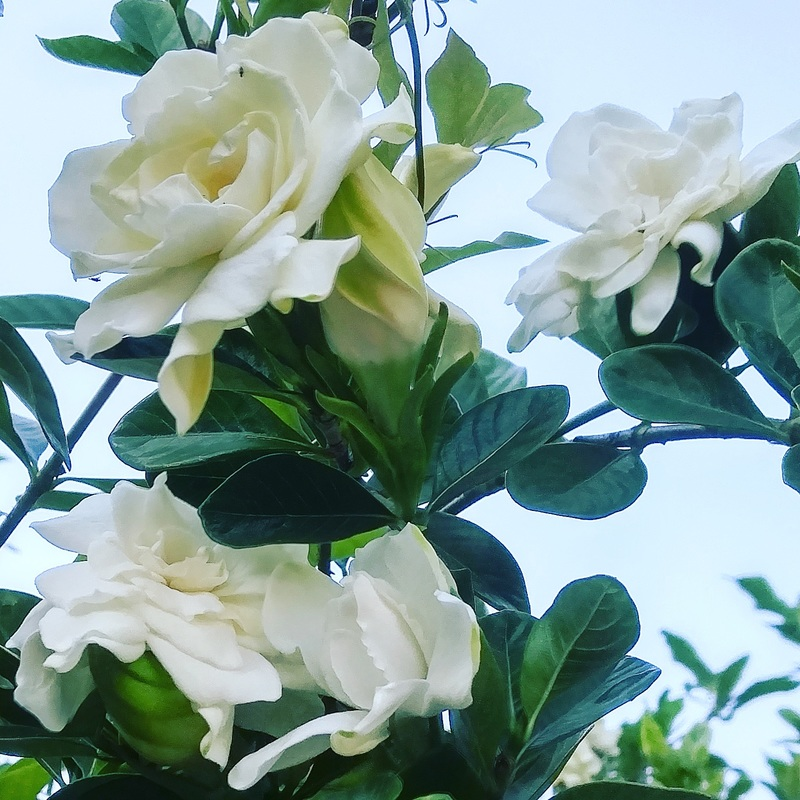Gardenias, Florida, Tampa, Flowers, Blooming, beautiful aroma, outside, enjoy life, smell the flowers, notice things.
