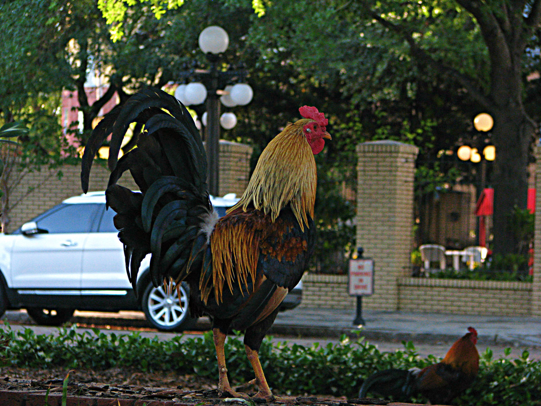 Rooster in the City Ybor City Tampa Florida Photography Explore Your City Travel Live
